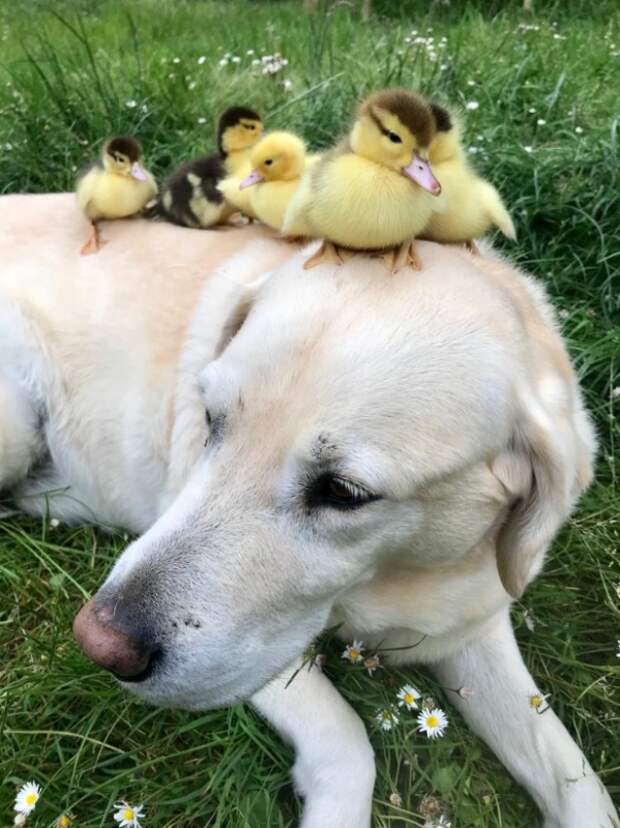 Чужих детей небывает: пес стал приемным отцом для осиротевших утят