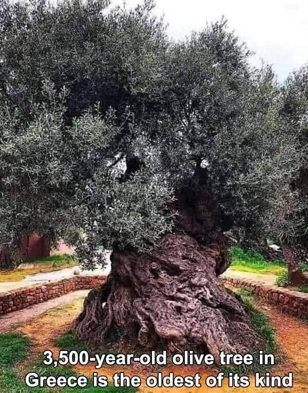 3500-летнее оливковое дерево в Греции - старейшее в мире дерево своего вида