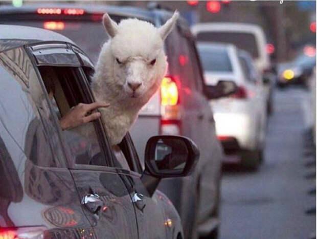 Сердитая альпака.
