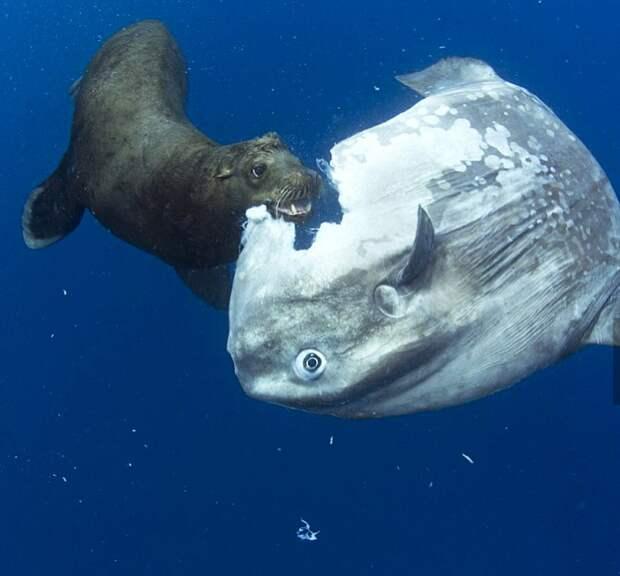6 фото рыбы-луны, от которой откусывают куски все подряд