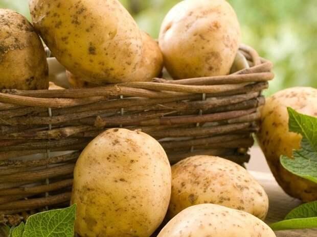 4 болезни картофеля при хранении