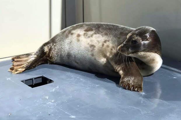 В Финский залив выпустили трёх спасённых нерп и серого тюленя