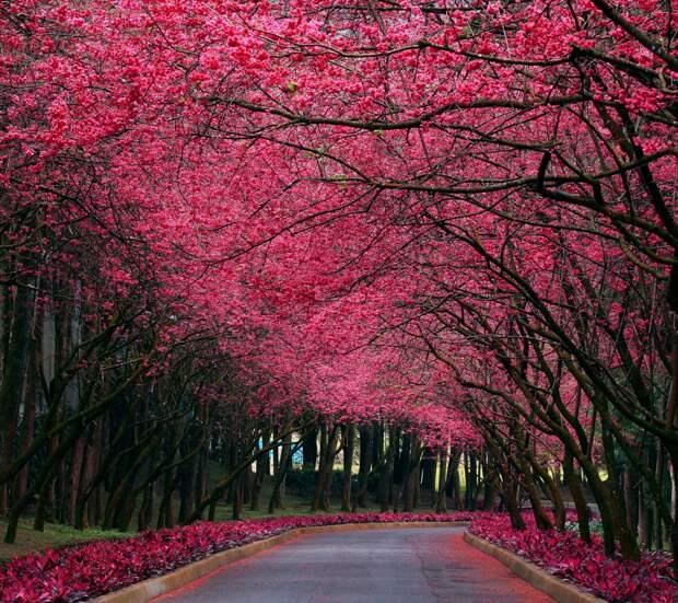 Сакура. Фото взято из открытых источников