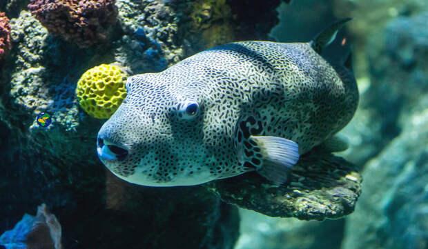 Рыба Фугу очень ядовита, но её всё равно едят
