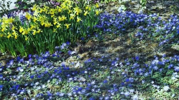 Нарцисс и пролеска