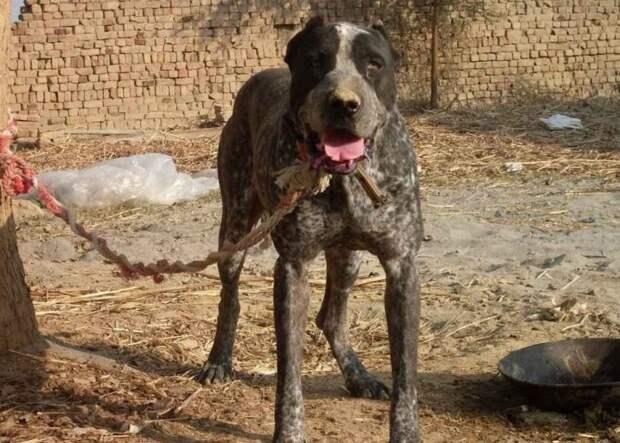 3 самые крупные породы собак — настоящие гиганты