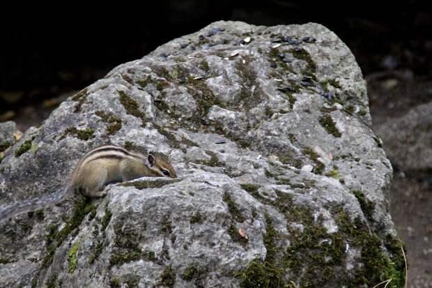 Белокурихинский бурундочок. Их здесь много, они наглые, ручные. Фото автора.