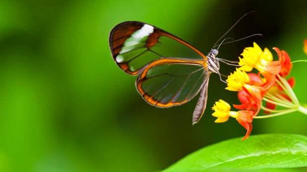 Чем питается стеклянная бабочка