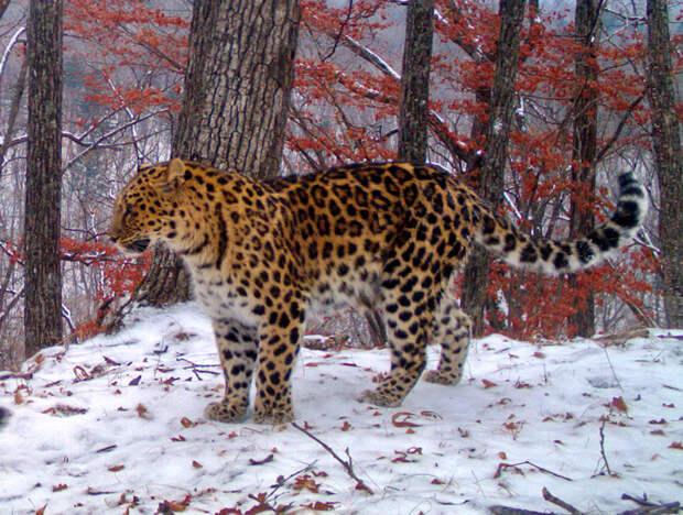 Леопард, снимок с фотоловушки