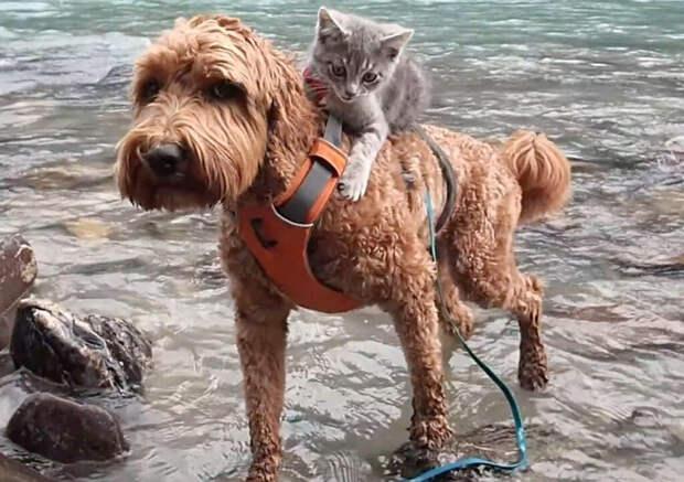 «Стой!» - сказала хозяйка, но пес уже понес на спине бездомного котенка