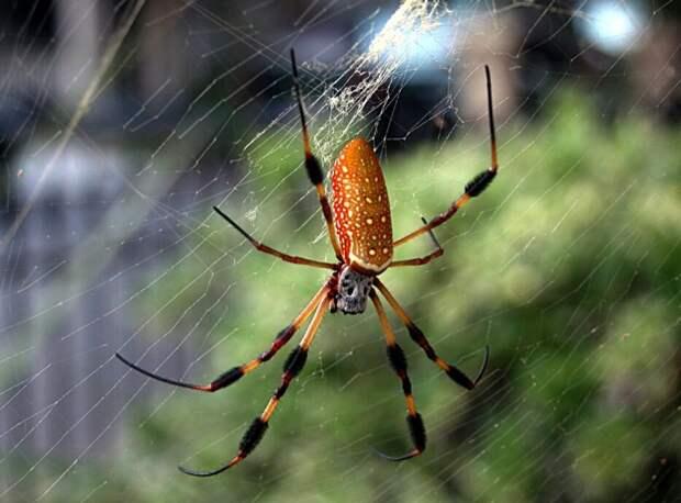 Nephila (источник https://spideridentifications.com/wp-content/uploads/2019/04/Nephila-Clavipes-1024x768.jpg)