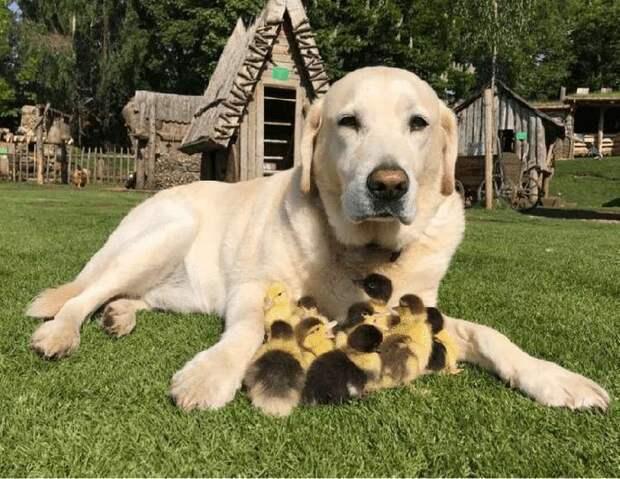 Лиса украла маму… Но утят усыновил лабрадор!