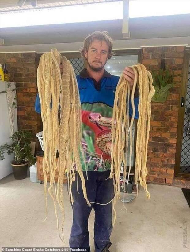 В Австралии  обнаружили на чердаке частного дома около 50 змеиных шкур