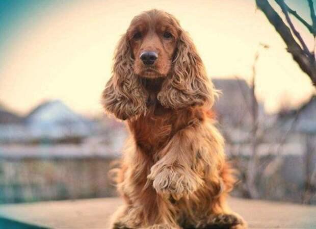 Английский кокер-спаниель больших, бульдог, до маленьких, питомец, породы, собак, такса