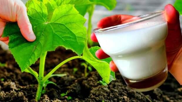 При помощи этой подкормки из молока огурцы дадут отличный урожай