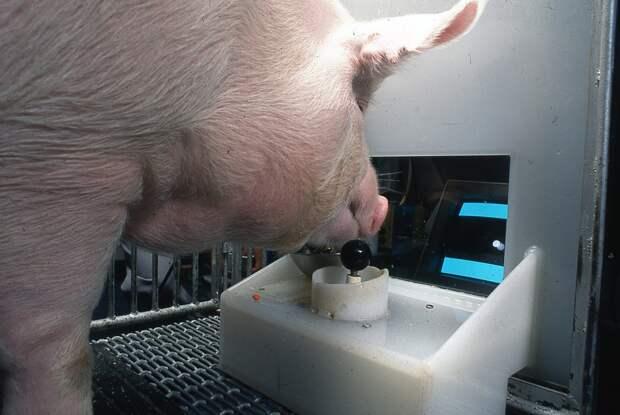 В Канаде свиней научили играть в компьютерные игры