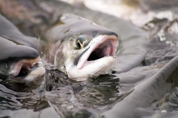 Рaзработано новое лекарство для рыб
