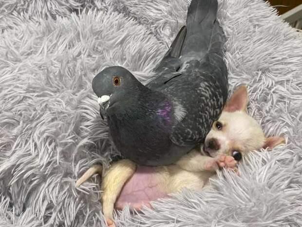 Голубь, не умеющий летать, подружился с пёсиком, который не может ходить