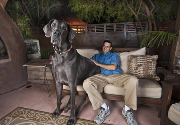 Самая большая собака в мире - голубой дог Джордж