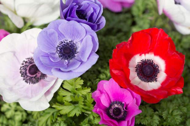 Многолетний садовый цветок Анемона (Amemone)