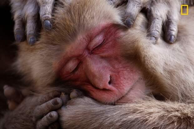 Макака наслаждается процедурой массажа головы. Парк снежных обезьян Джигокудани, Япония national geographic, дикая природа, лучшие фотографии, фотографии природы, фотоконкурс, фотоконкурсы. природа