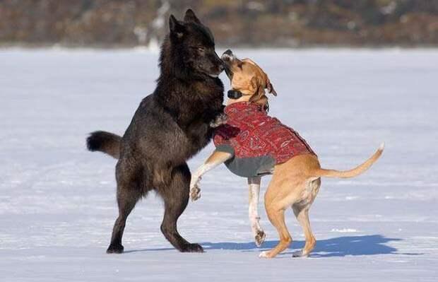 Он с ужасом смотрел, как волк приближался к его собаке...