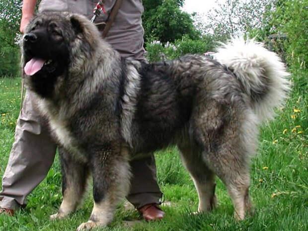 Кавказская овчарка - большая сторожевая собака