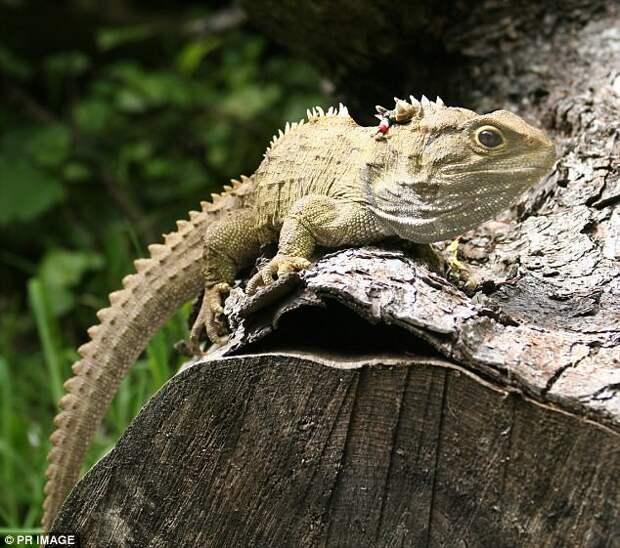 Туатара Галапагосы, австралия, животные, интересно, мадагаскар, познавательно, редкие животные, эндемики