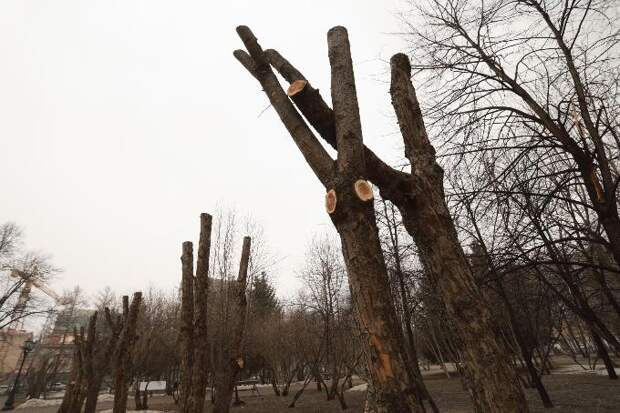Обрубки деревьев в Первомайском сквере шокировали горожан