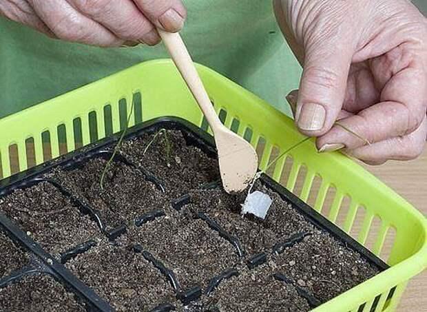 Рассада : посев в бумажные рулоны