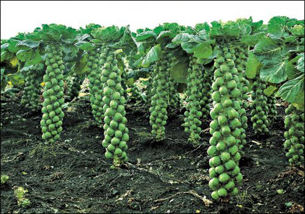 Как вырастить брюссельскую капусту по всем правилам? - Огород, сад, балкон