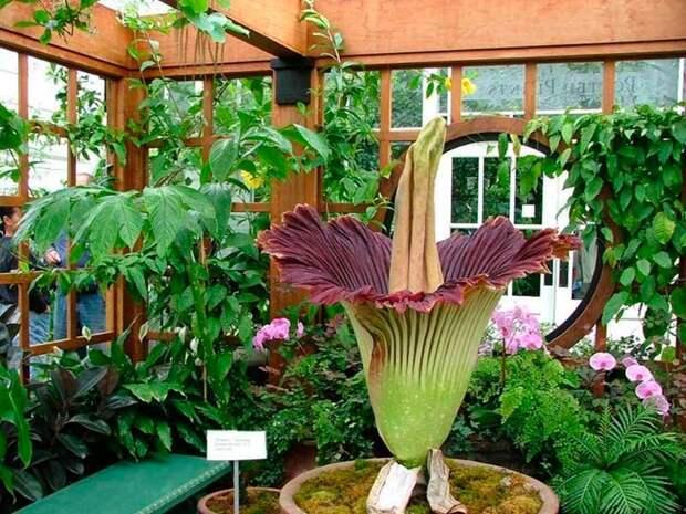 Комнатное растение Аморфофаллюс (Amorphophallus)
