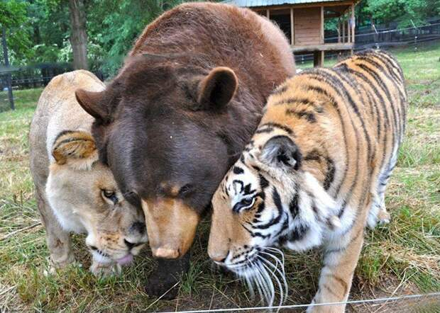 Картинки по запросу lion tiger and bear