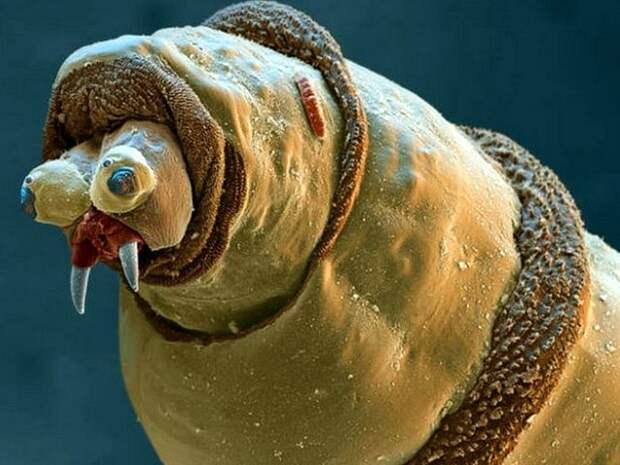 Голова личинки навозной мухи