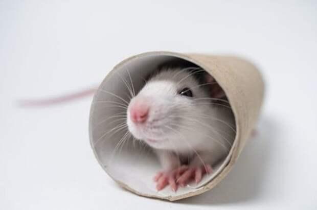 Биологи научили крыс играть в прятки: что при этом удалось выяснить