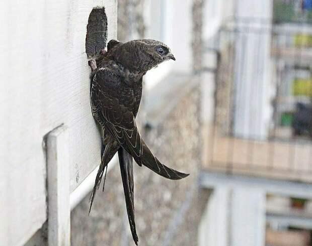 Чёрный стриж: Рождённый летать — ходить не способен. Птица, что по полгода не касается земли