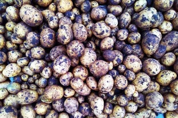 Россия обсуждает закупку картофеля у Белоруссии для стабилизации цен