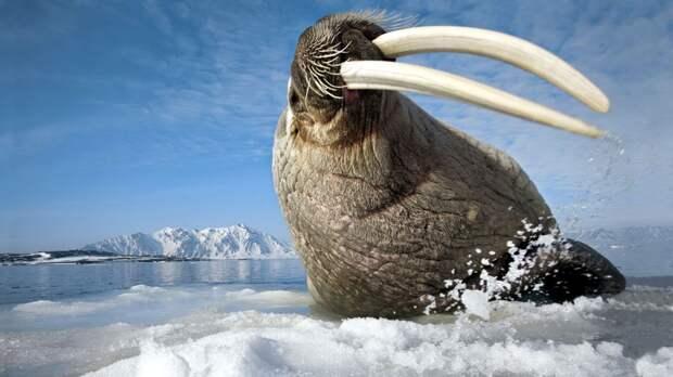 Интересные факты о моржах