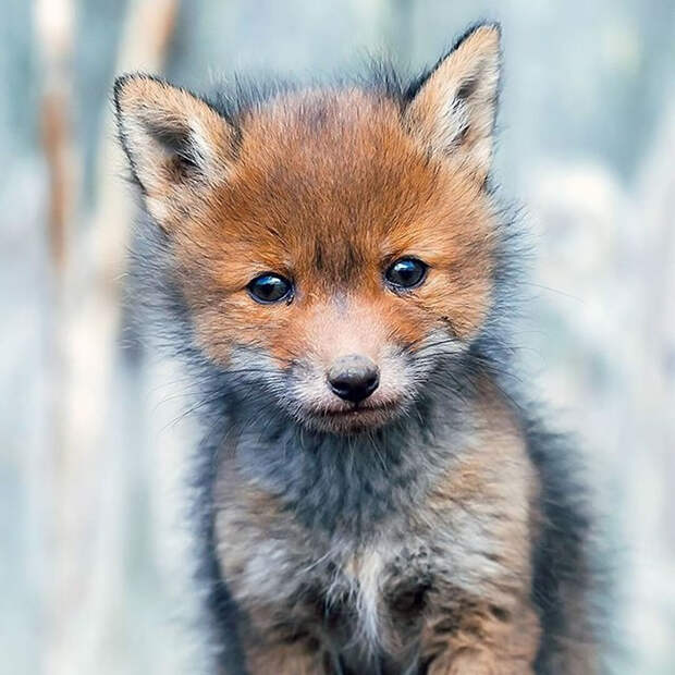 ossi-saarinen-baby-fox-photography-4