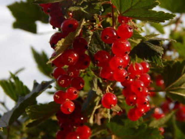 Смородина красная - полезные свойства и народные рецепты из красной смородины