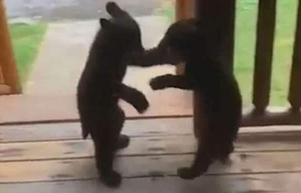 Медвежата устроили поединок возле жилища отдыхающих (1 фото + 1 видео)
