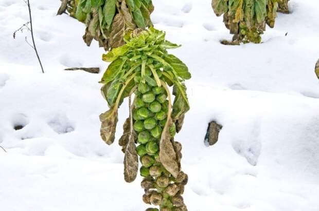 Не спешите убирать – 7 овощей, которым осенние холода на пользу