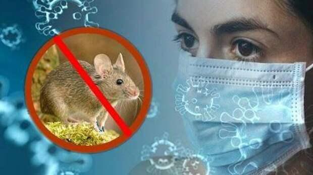 «Мышиная лихорадка»: как защитить себя?