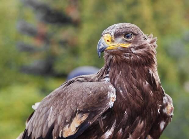 Редкие орлы дорого обходятся российским орнитологам