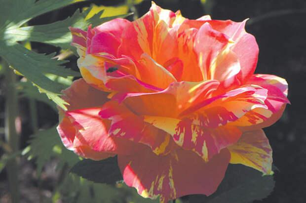 Королевская родословная. Разбираемся в сортах роз