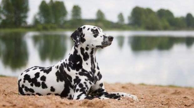 Далматин больших, бульдог, до маленьких, питомец, породы, собак, такса