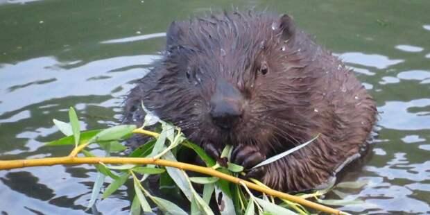 Подкормка бобров хлебом в парке «Покровское-Стрешнево» может привести к распространению крыс