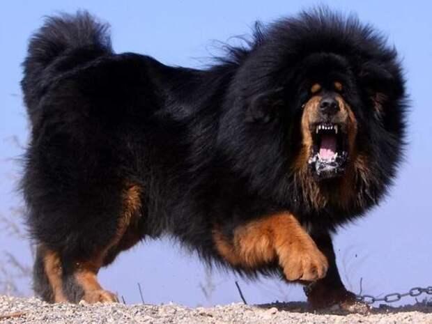 Тибетский мастиф больших, бульдог, до маленьких, питомец, породы, собак, такса