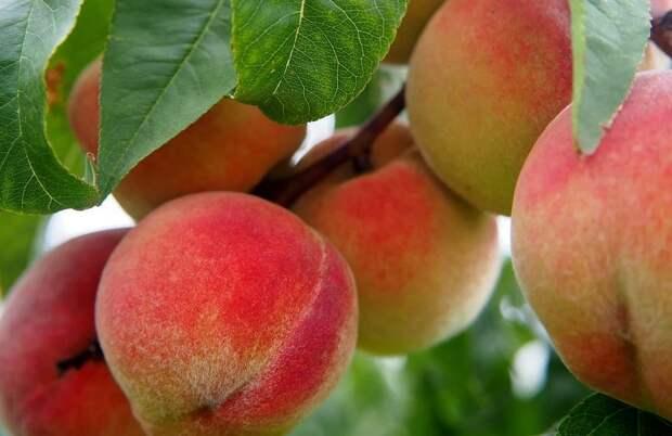 Власти уверяют, что дефицита персиков и абрикосов в Крыму не будет