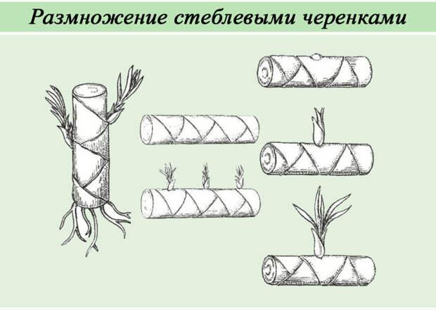 10 комнатных растений, которые можно легко вырастить из черенков